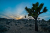 Joshua Trees during sunset.